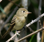 _dsc0217[464][2048] (pacific-slope flycatcher)